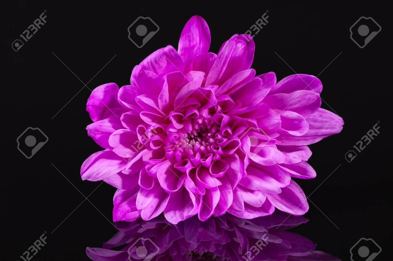 Single Pink Flower Chrysanthemum On Black Background Reflection