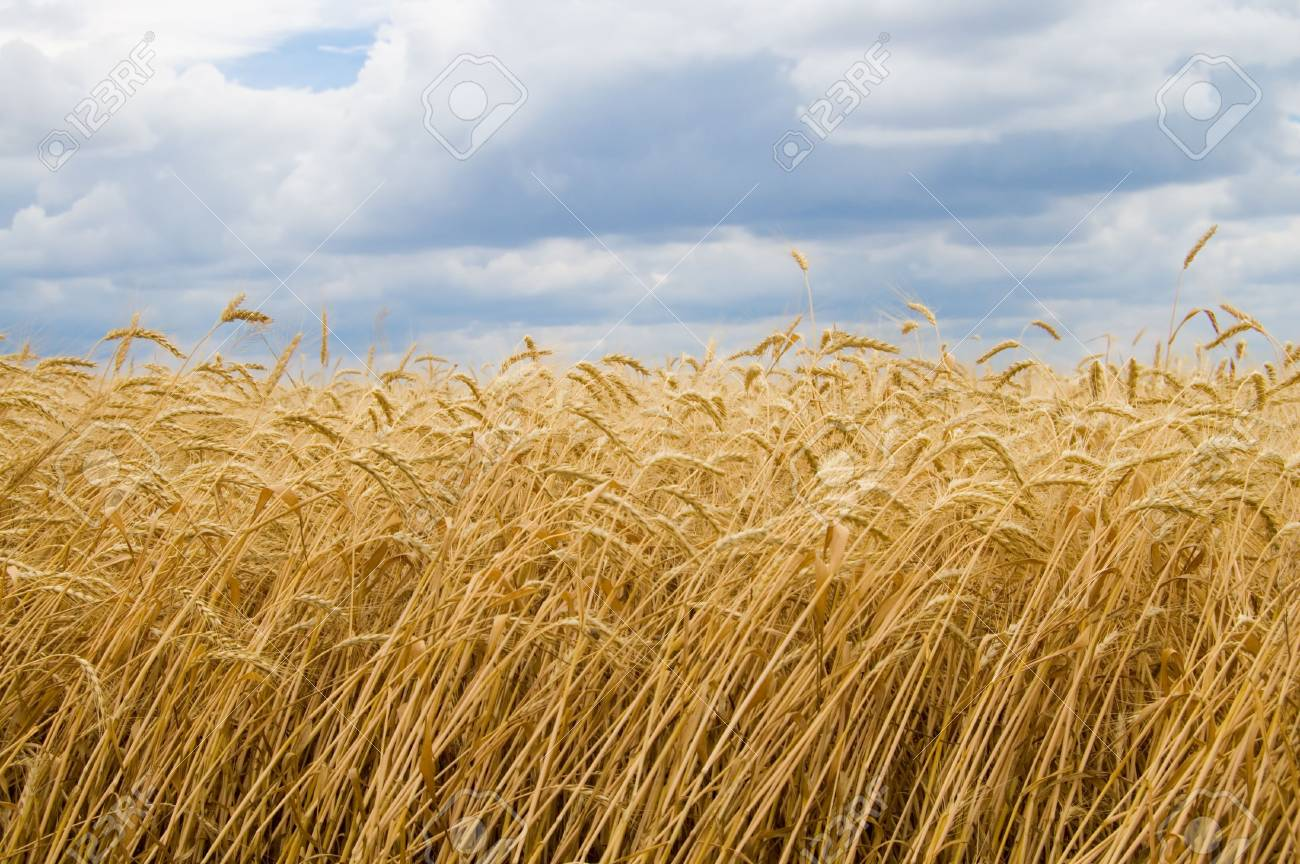 range wheat on sky with cloud background Stock Photo - 3298814
