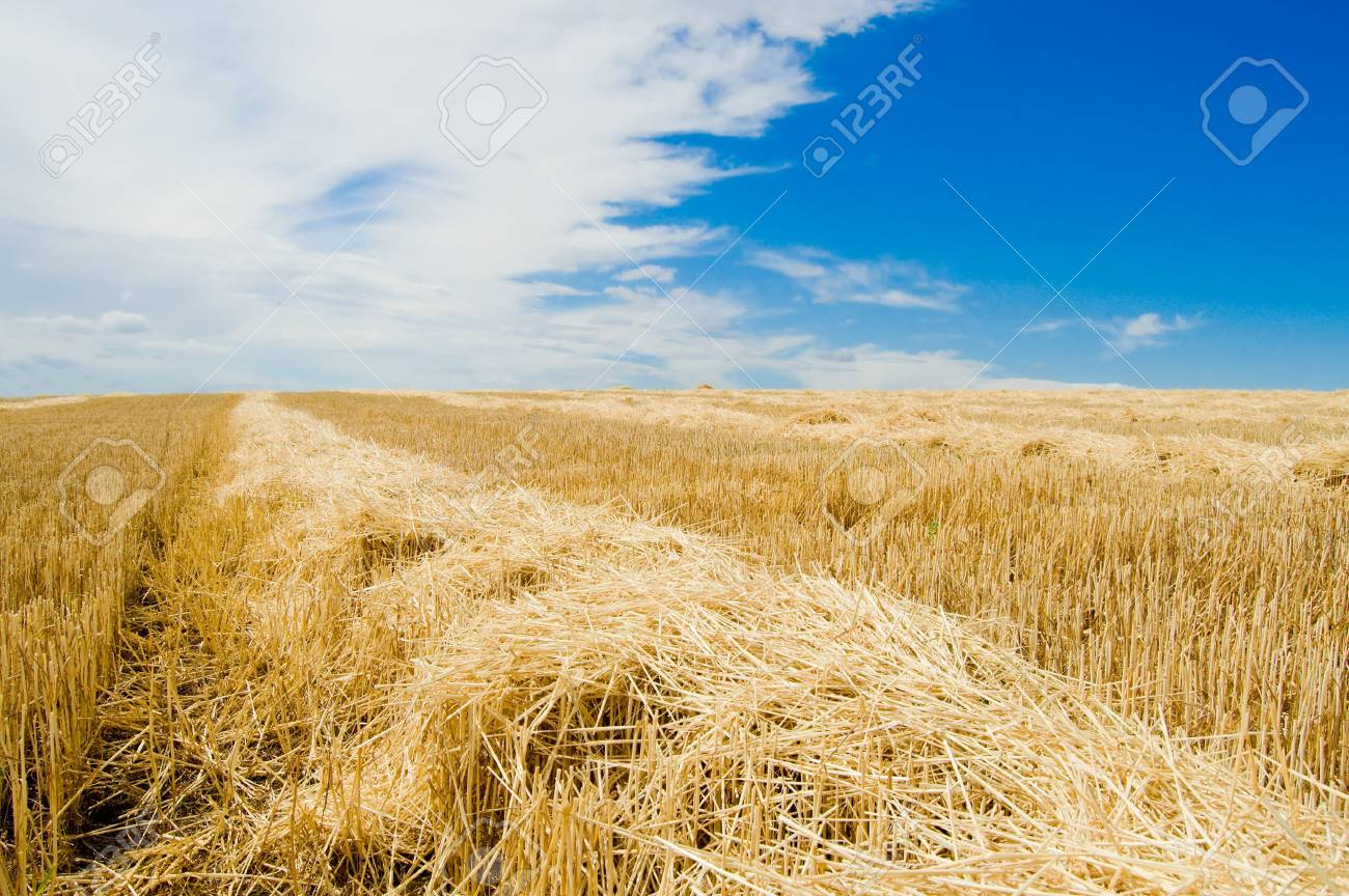 row of straw on field after harvesting Stock Photo - 4229475