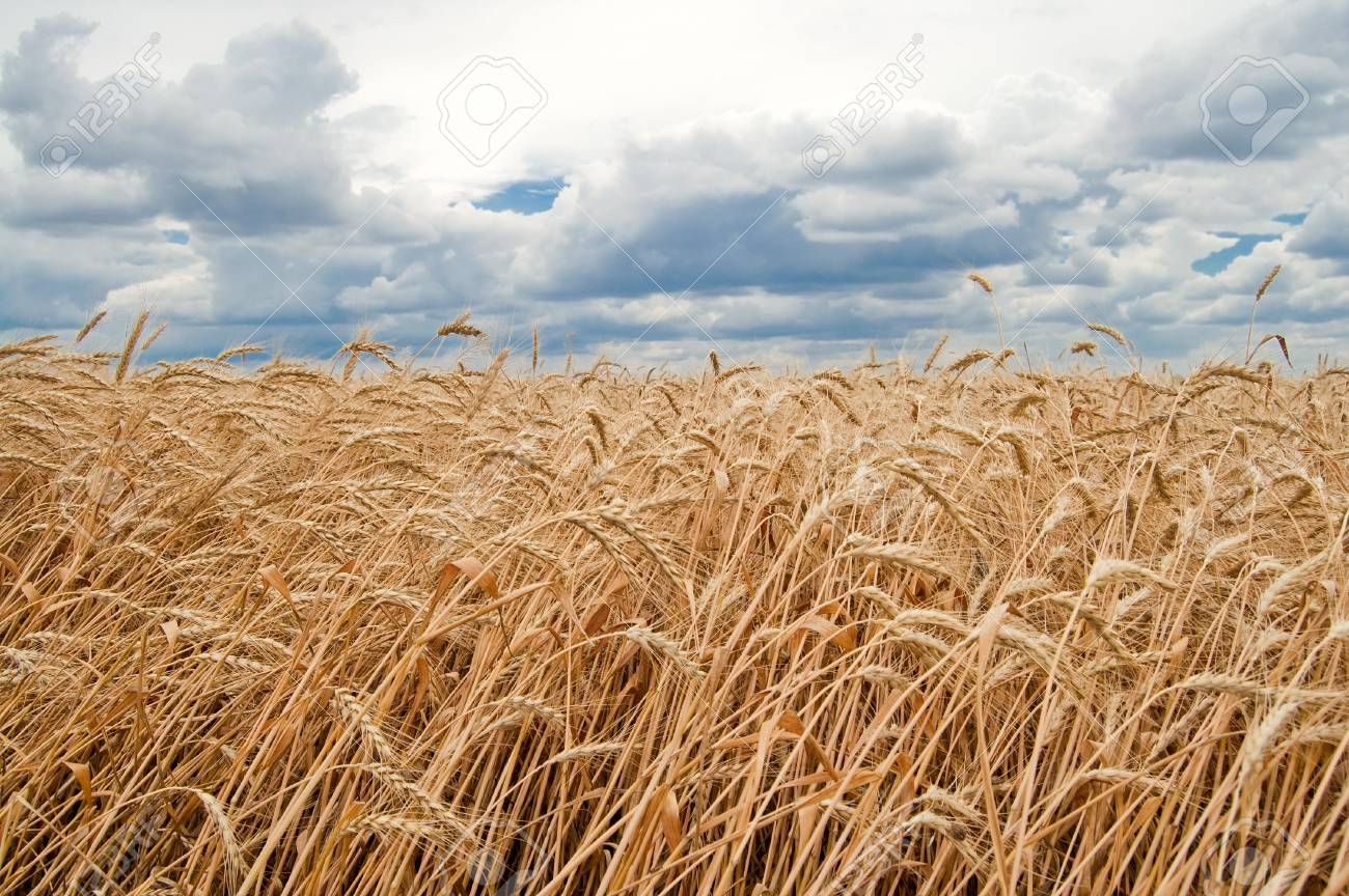 field of wheat on sky with cloud background Stock Photo - 6123520