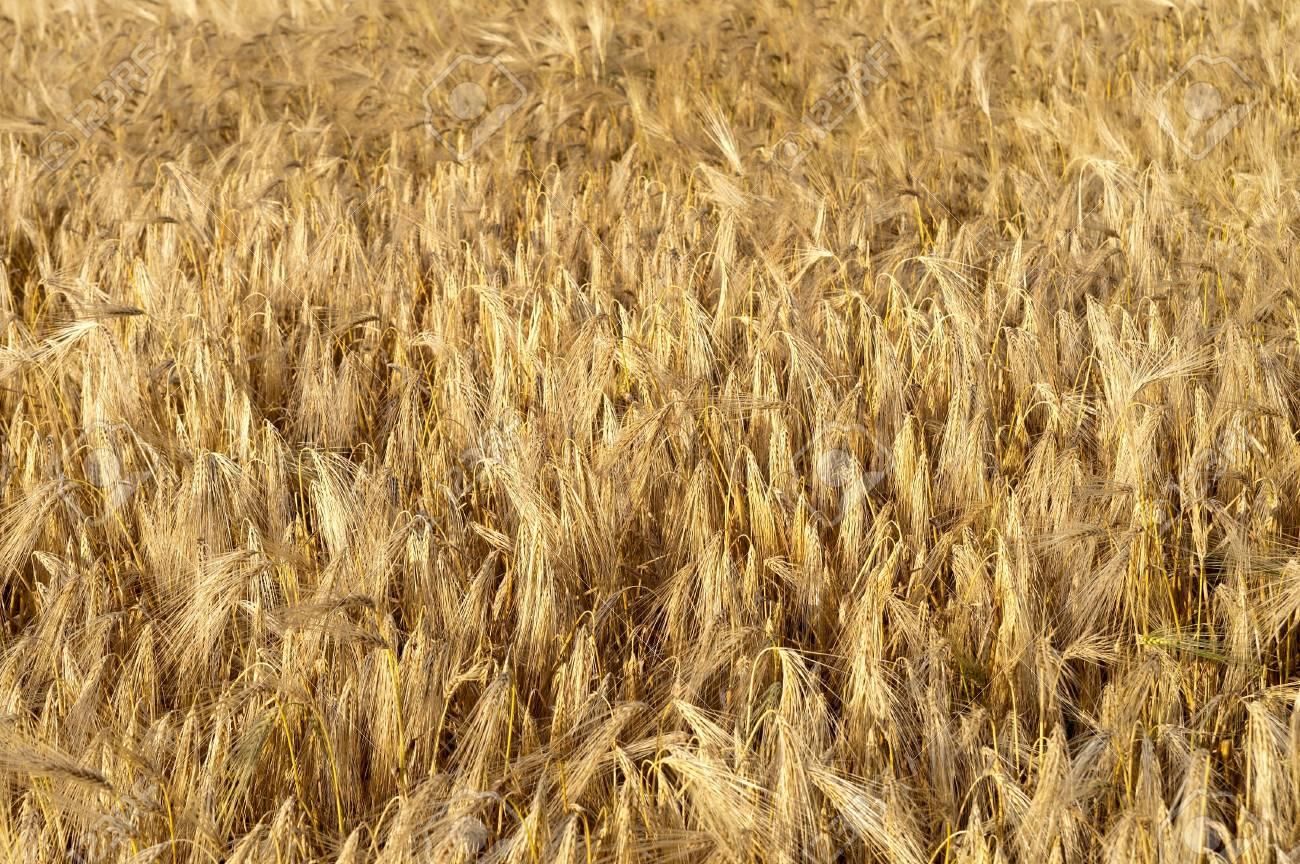 golden wheat ears. south Ukraine Stock Photo - 7539946