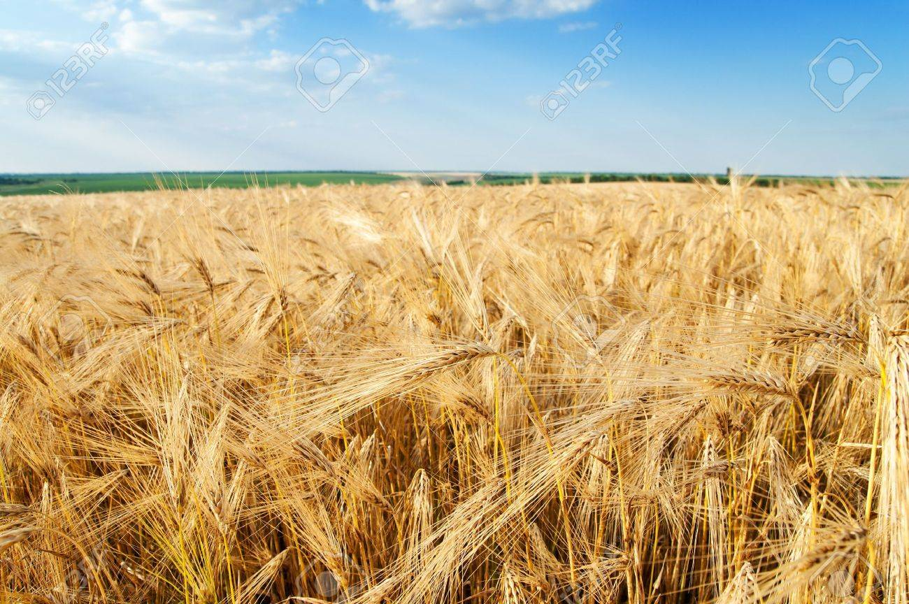 field of wheat Stock Photo - 7539943