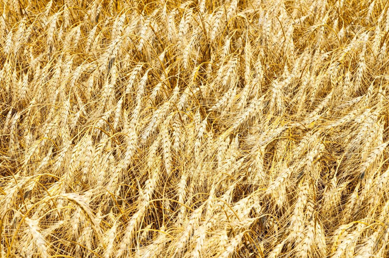 gold ears of wheat Stock Photo - 7558986