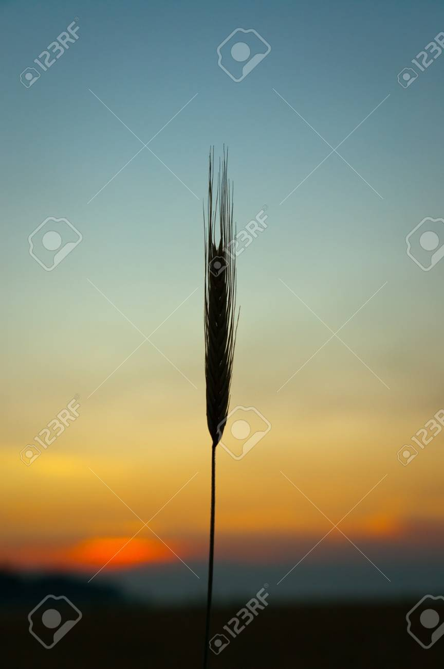 sunset on field at summer. ears of wheat sun against Stock Photo - 7558905