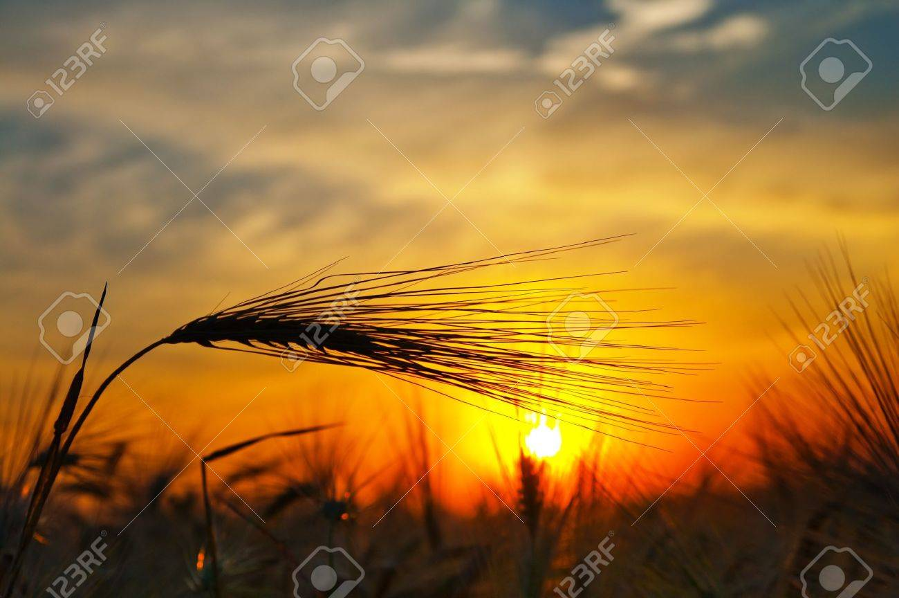 ears of ripe wheat on a background a sun in the evening Stock Photo - 7558921