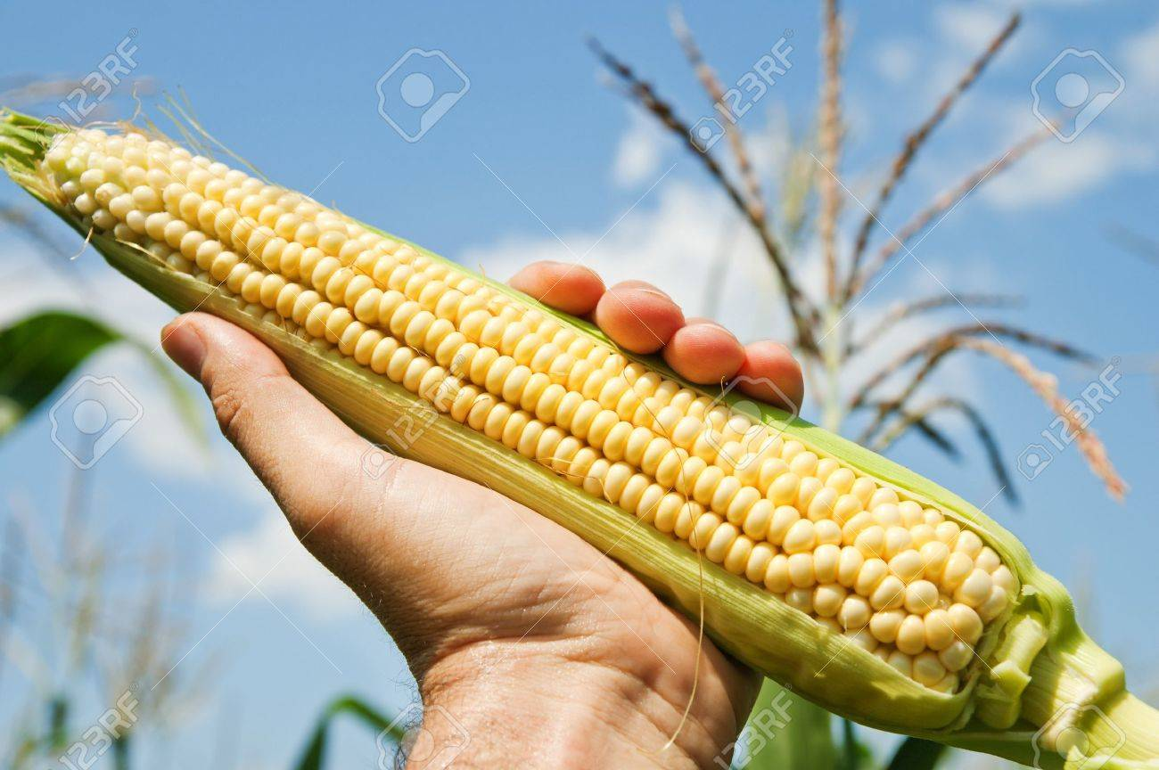 view of an ear of corn in hand Stock Photo - 7558930