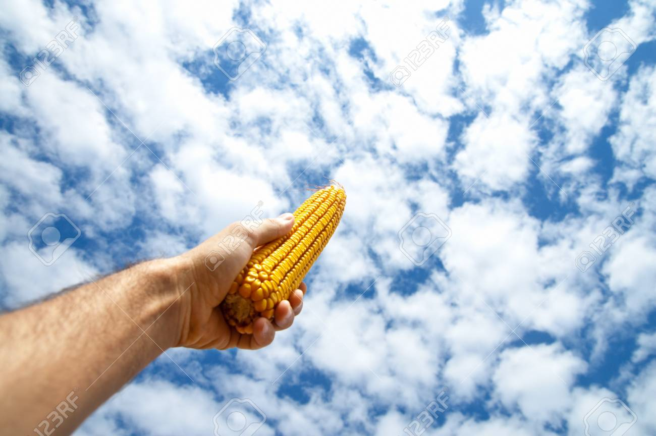 maize in hand under cloudy sky Stock Photo - 7804343