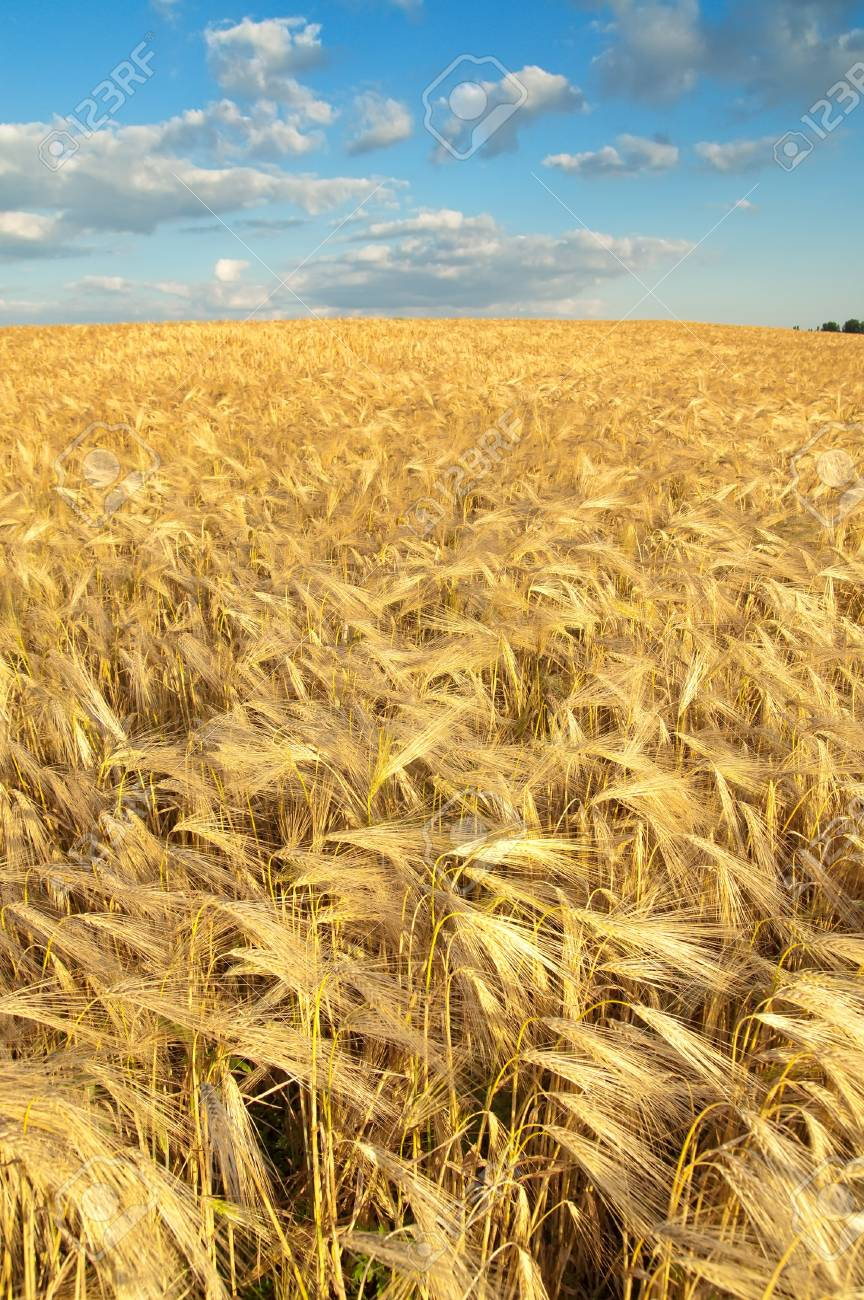field of gold ears of wheat Stock Photo - 7972486