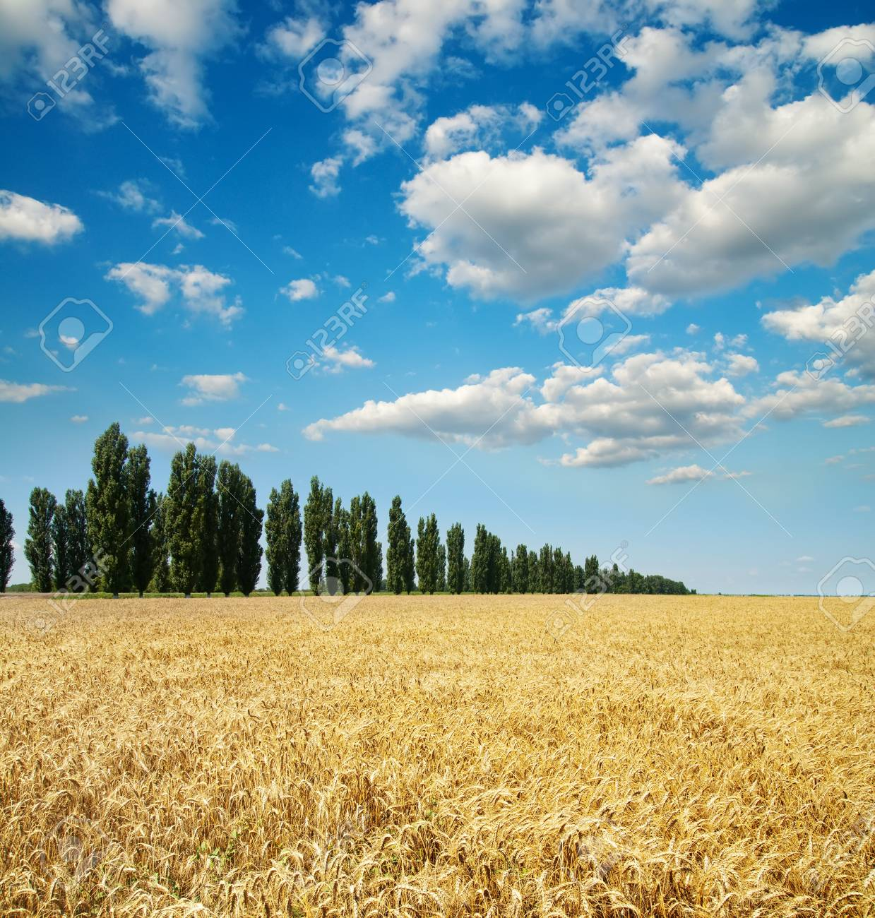 gold ears of wheat with trees under sky Stock Photo - 8949189