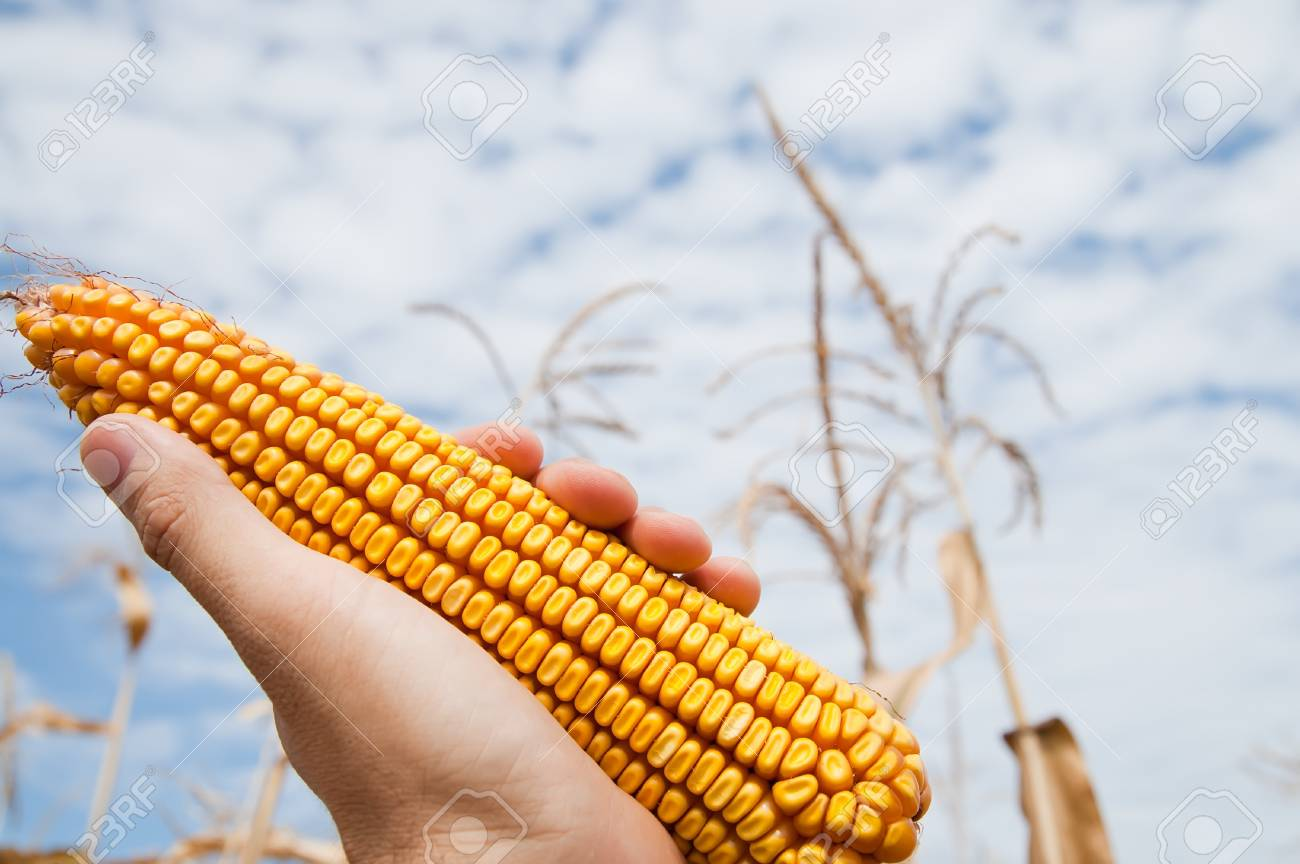 maize in hand under sky Stock Photo - 8949201