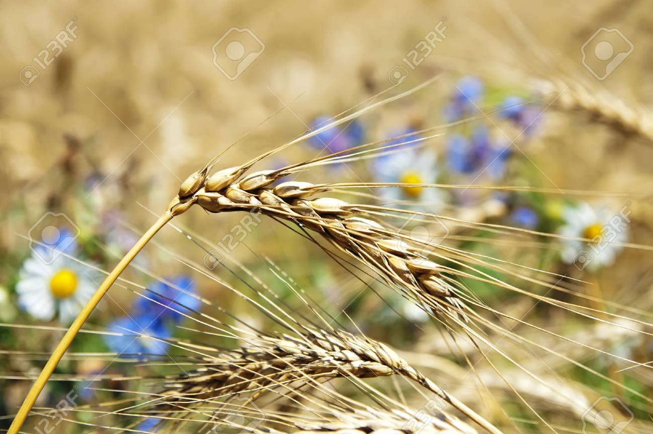 field of wheat with flowers. soft focus Stock Photo - 8949203
