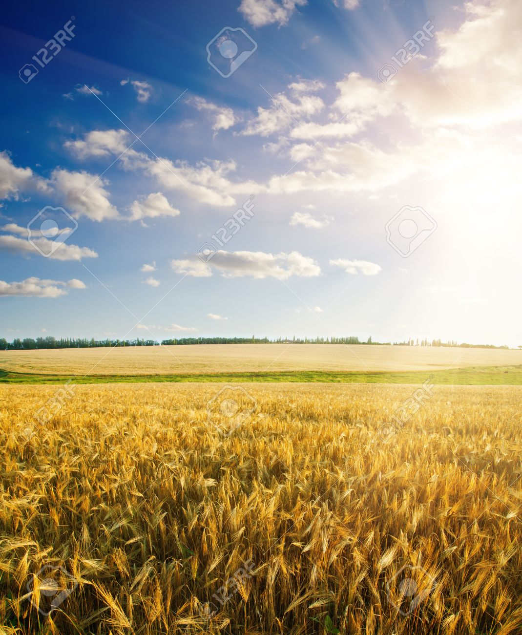 field of wheat under cloudy sky with sun Stock Photo - 9185564