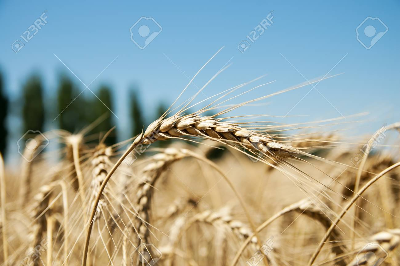 close up of ripe wheat ears against sky and trees Stock Photo - 9340002