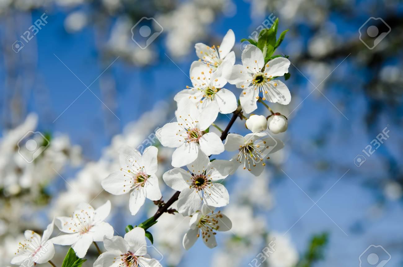 spring white blossom against blue sky Stock Photo - 9470494