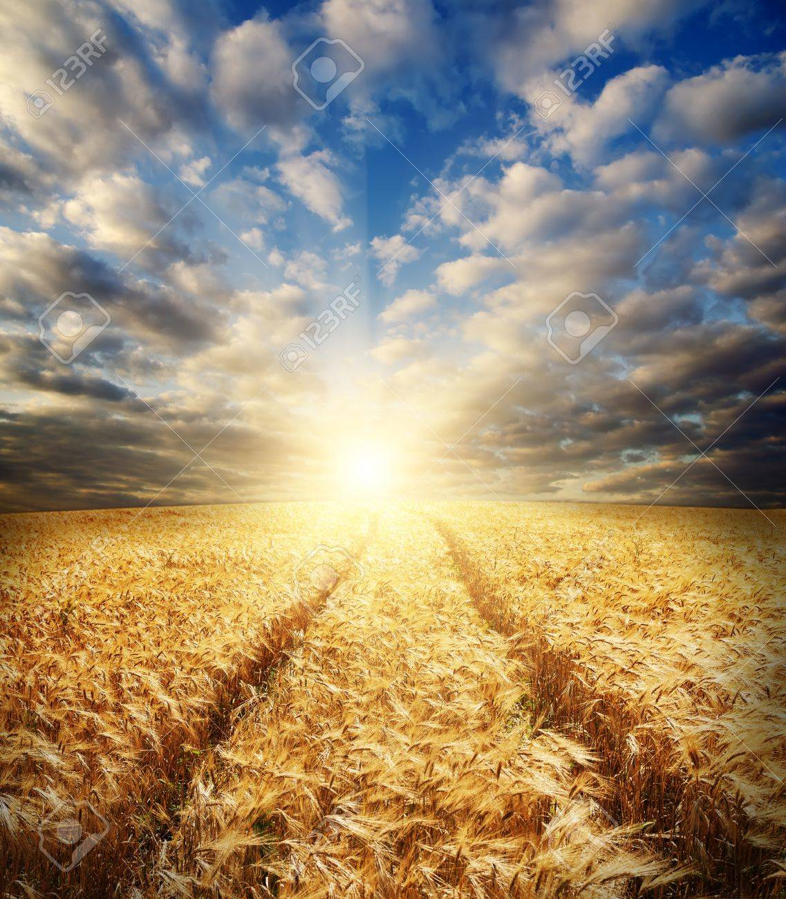 field with gold ears of wheat in sunset Stock Photo - 9589630