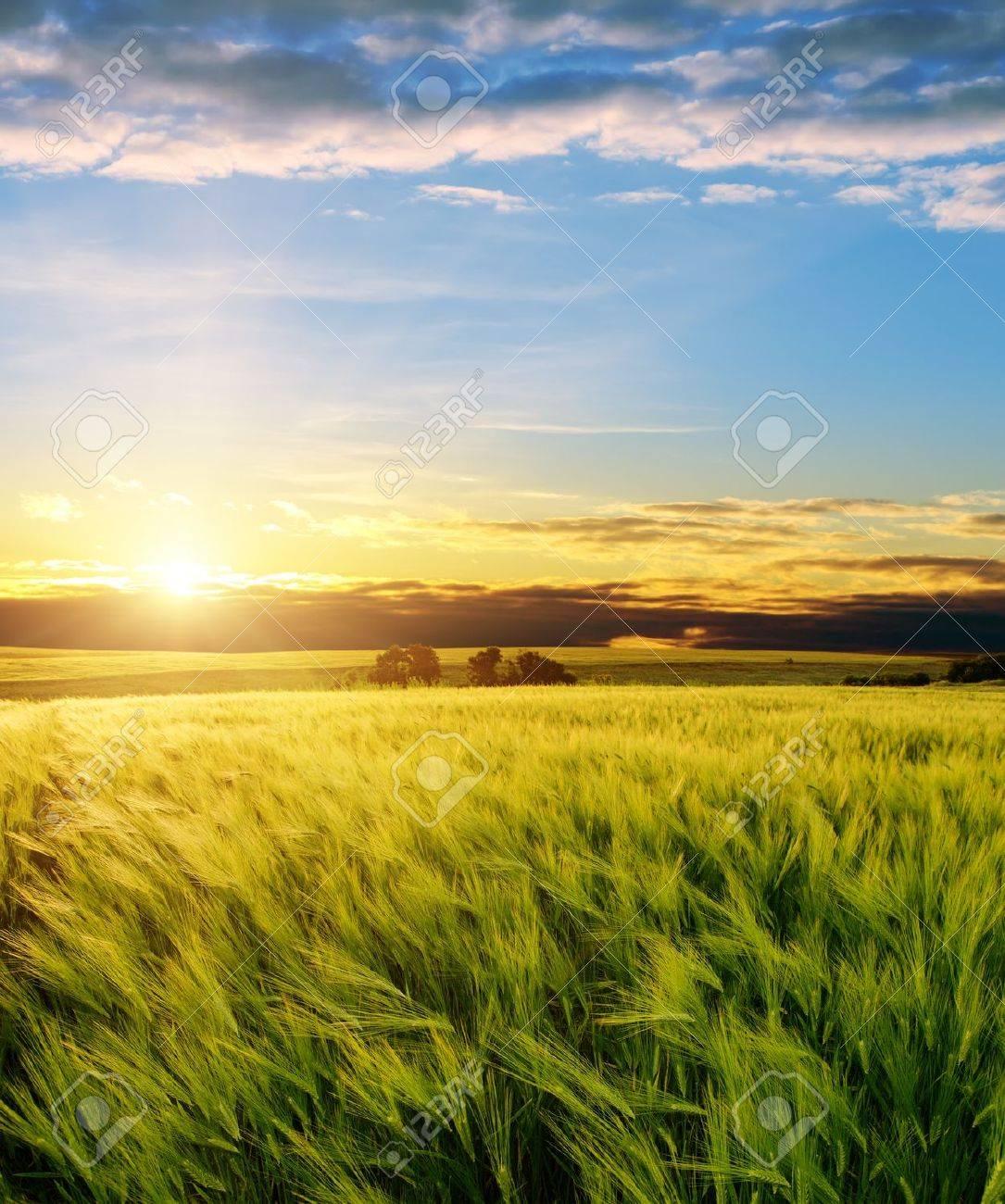ear of green wheat under sunrays Stock Photo - 9877491