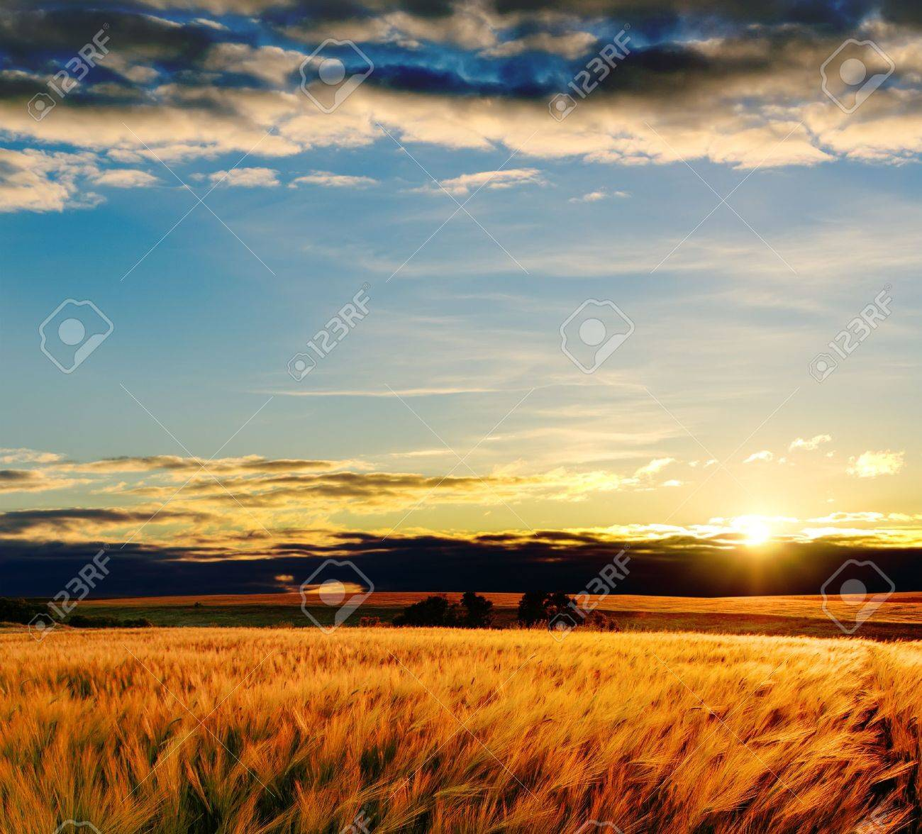 field with gold barley in sunset Stock Photo - 9877509