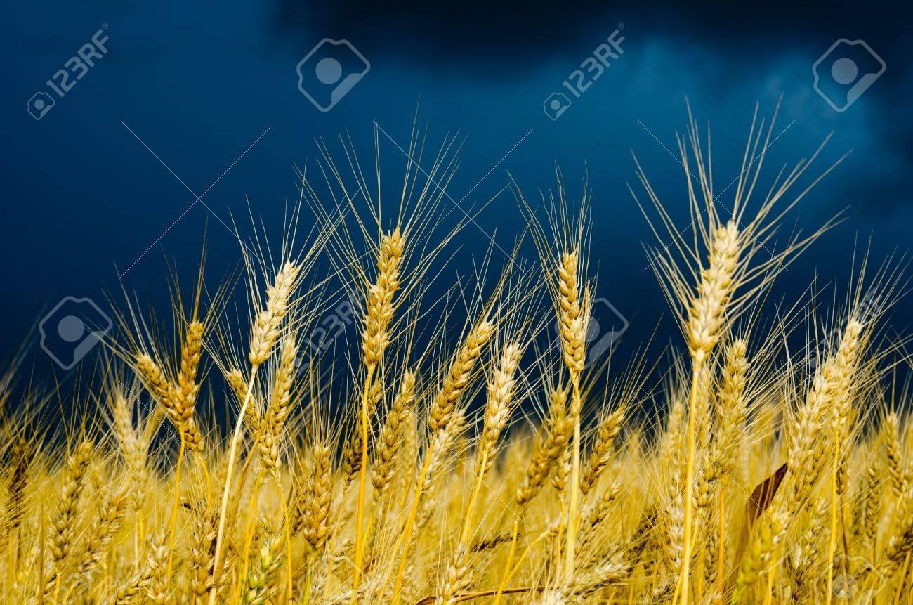 golden field. rain before Stock Photo - 10043345