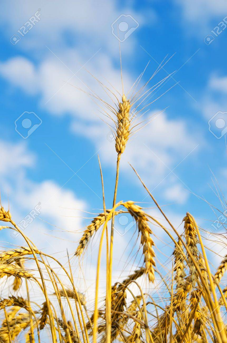 close up of ripe wheat ears against sky. soft focus Stock Photo - 10043320