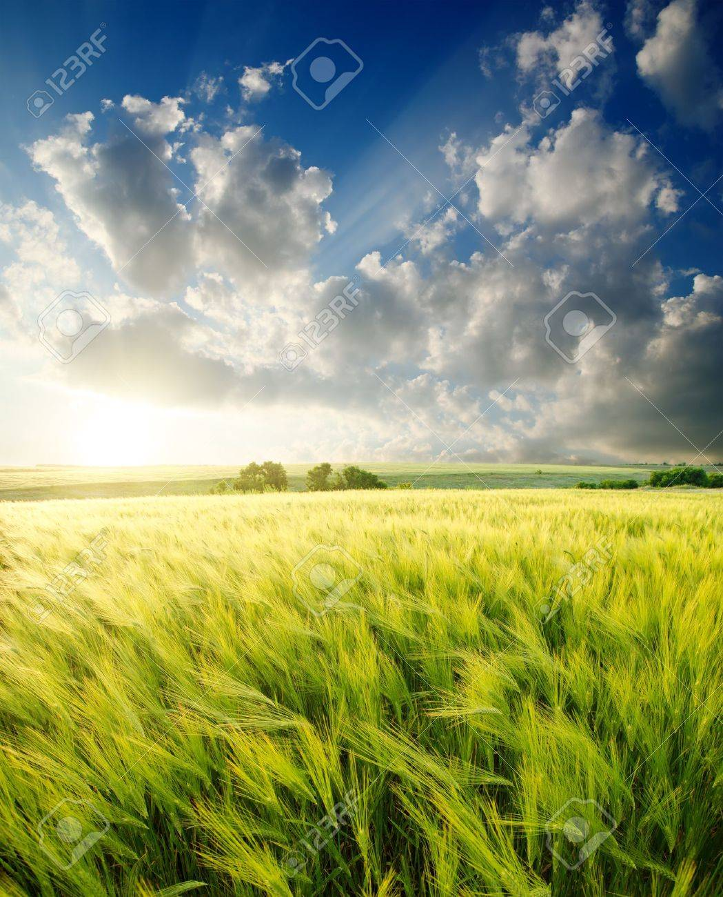 green barley under sunrays Stock Photo - 10043339
