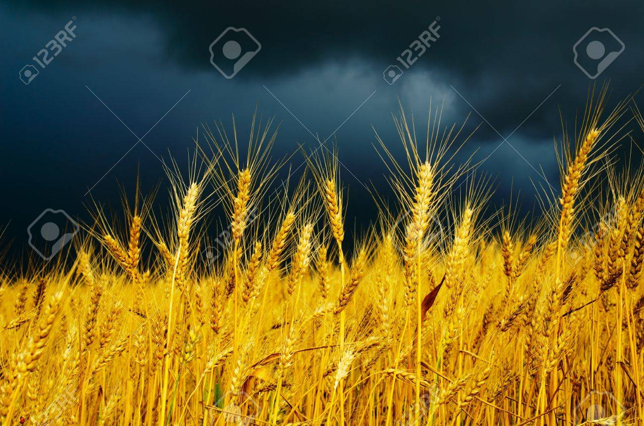golden field with dramatic sky. rain before Stock Photo - 10338134
