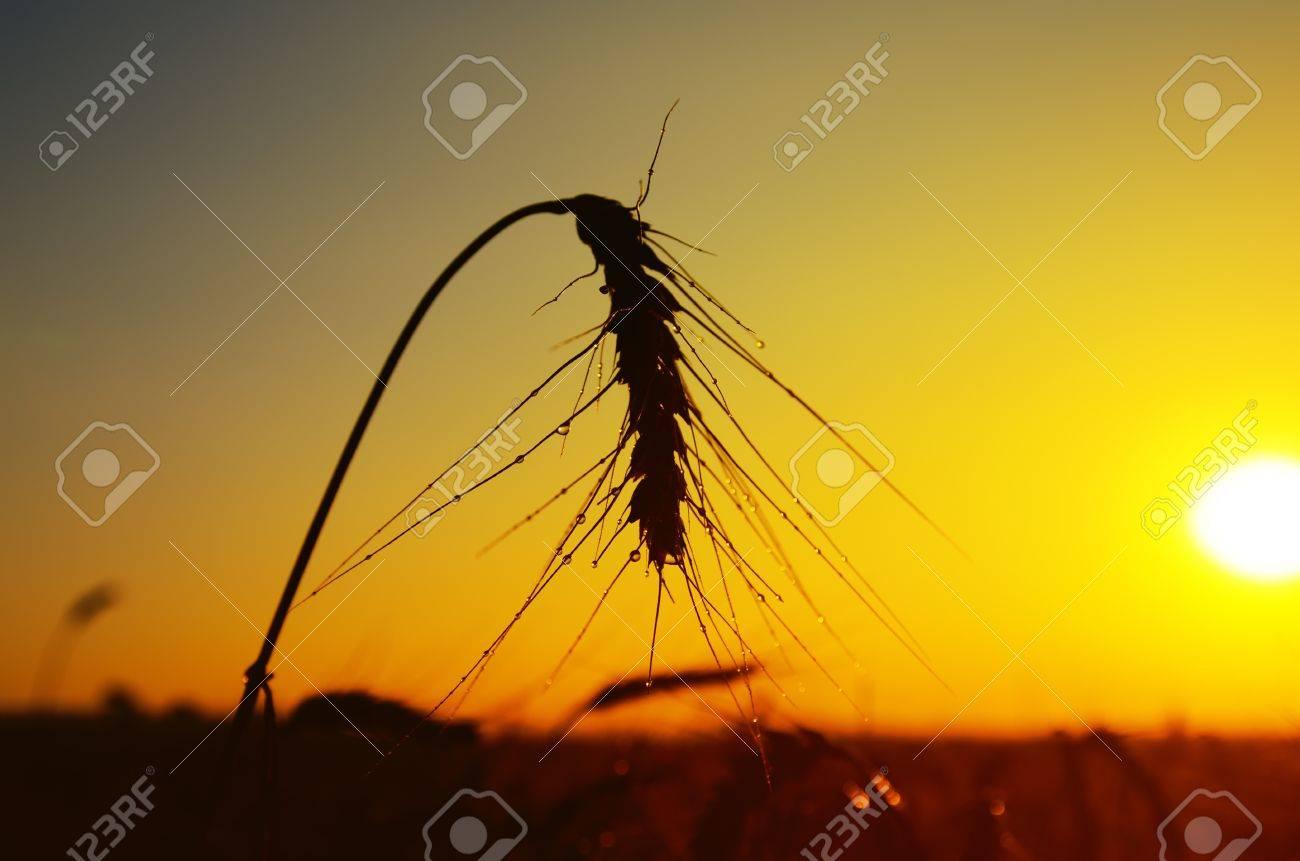 wet ears of ripe wheat on sunset Stock Photo - 10338119