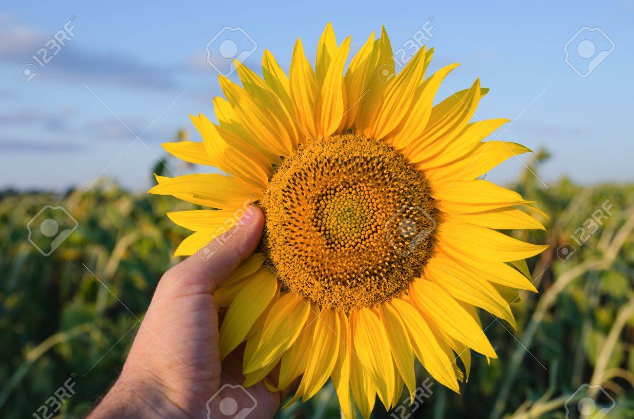 hand showing sunflower over field Stock Photo - 10432356