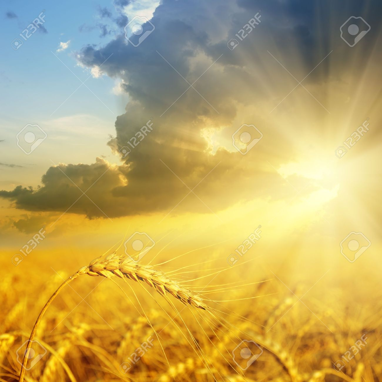 field with gold ears of wheat in sunset Stock Photo - 10706412