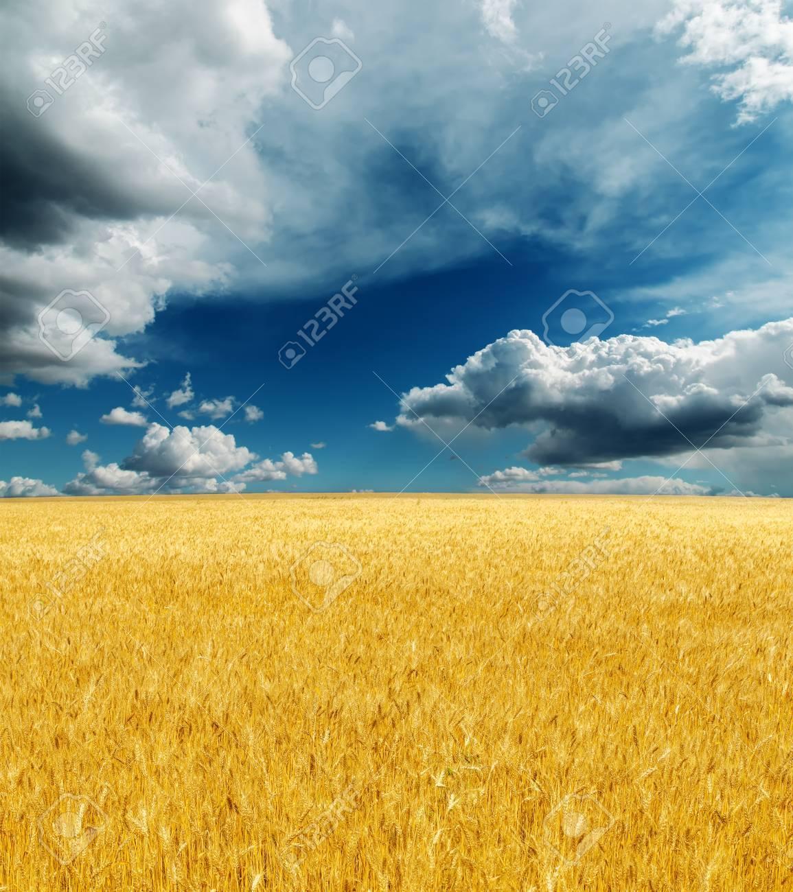 golden harvest field under dramatic sky. rain before Stock Photo - 16654039