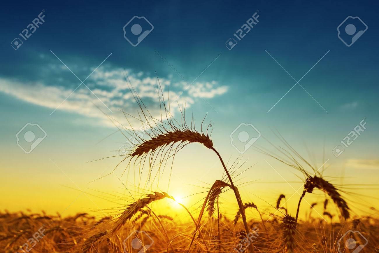 golden harvest under blue cloudy sky on sunset. soft focus - 43540019