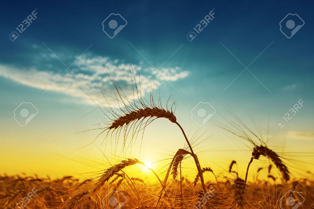 golden harvest under blue cloudy sky on sunset. soft focus Stock Photo - 43540019