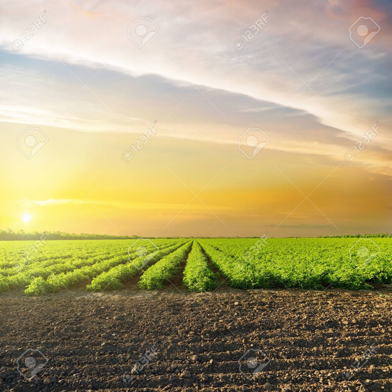 orange sunset in clouds over green agriculture field with tomatoes - 79986662