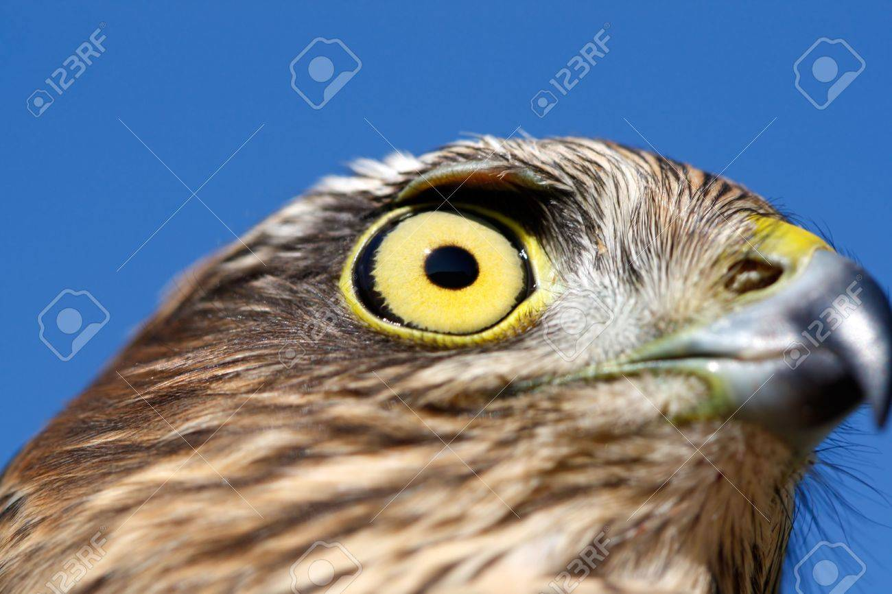 The sparrow-hawk (Accipiter nisus) on a sky background. Stock Photo - 5805944