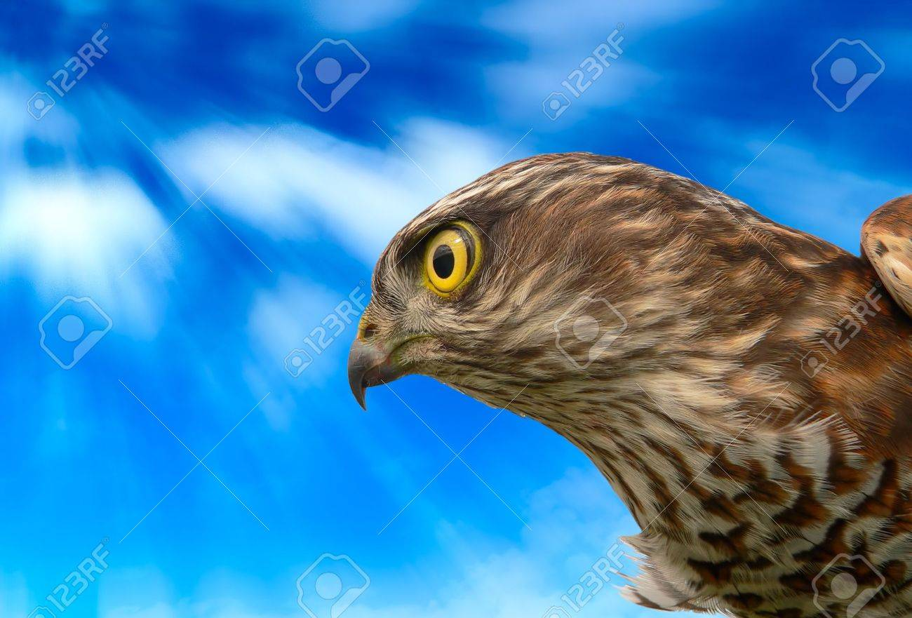 The sparrow-hawk on a white background. Stock Photo - 6755367