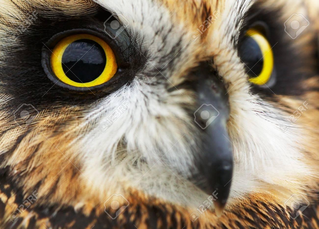 Portrait of the Short-eared Owl  (Asio flammeus). Stock Photo - 10073220