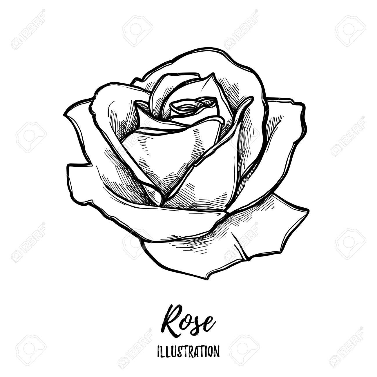 Dibujado A Mano Ilustración Vectorial Rosa Bosquejo Floral Del
