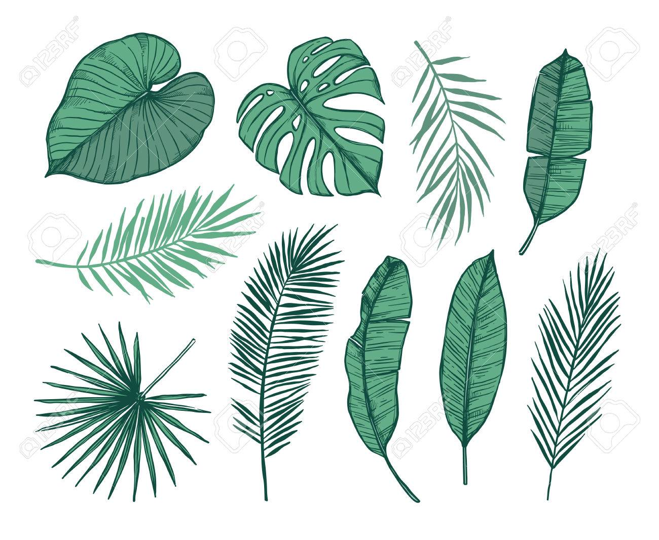 Hand Drawn Vector Illustration Palm Leaves Monstera Areca Royalty Free Cliparts Vectors And Stock Illustration Image 82088892 Monstera plant leaf, banana plants and green tropics palm leaves isolated vector illustration. hand drawn vector illustration palm leaves monstera areca