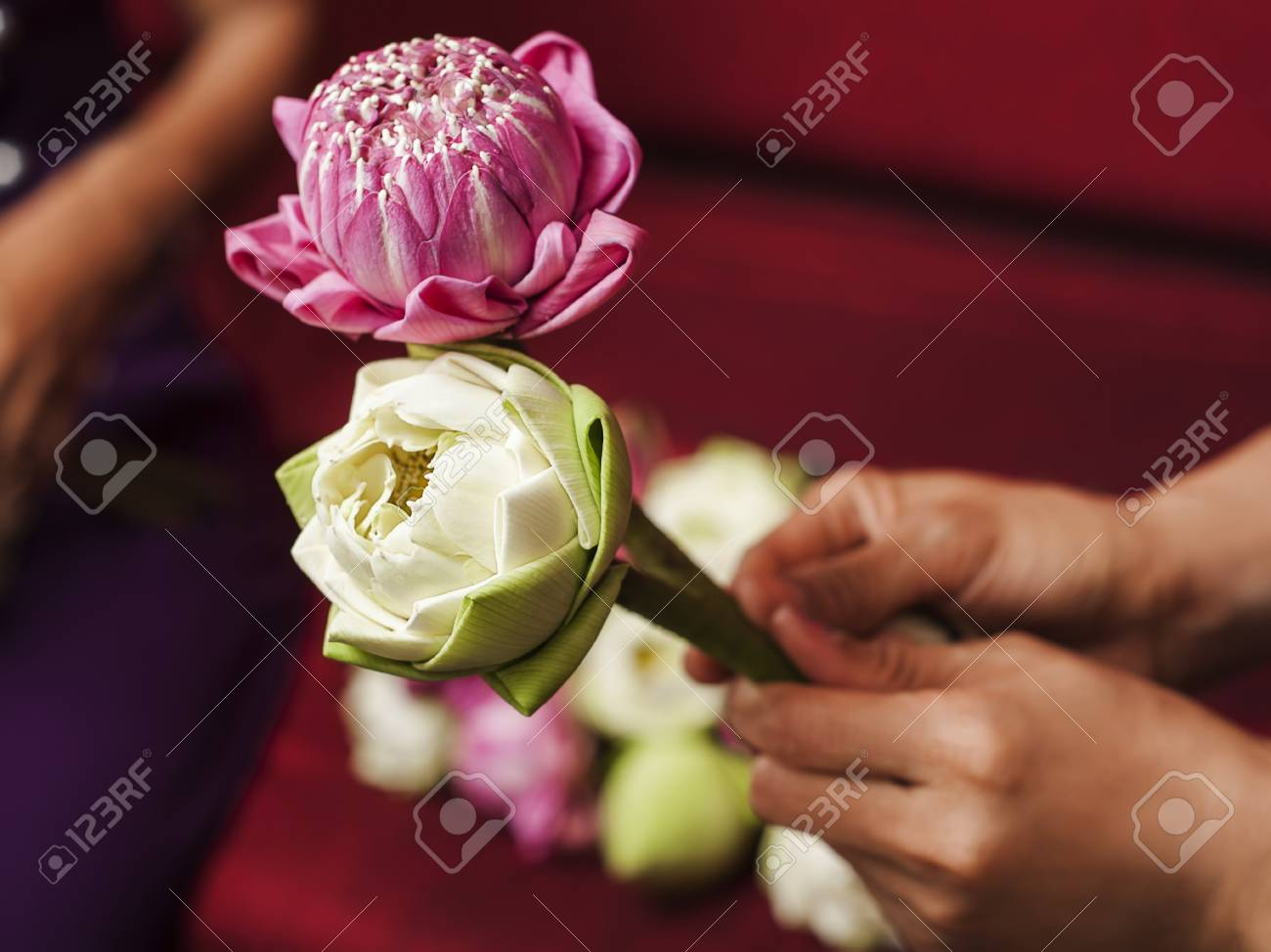 Pink and white lotus flowers in woman hands stock photo picture and pink and white lotus flowers in woman hands stock photo 91778931 mightylinksfo