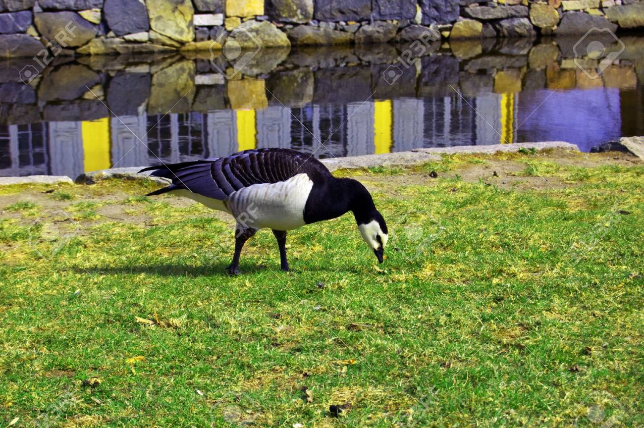Canadian goose on a walk Stock Photo - 4751724