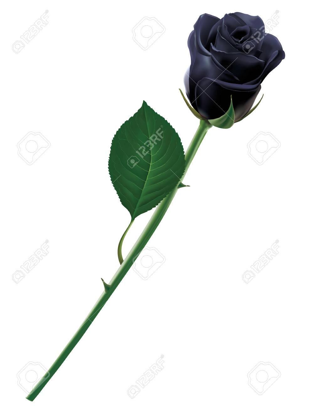 Black rose isolated. Realistic illustration - 56695718