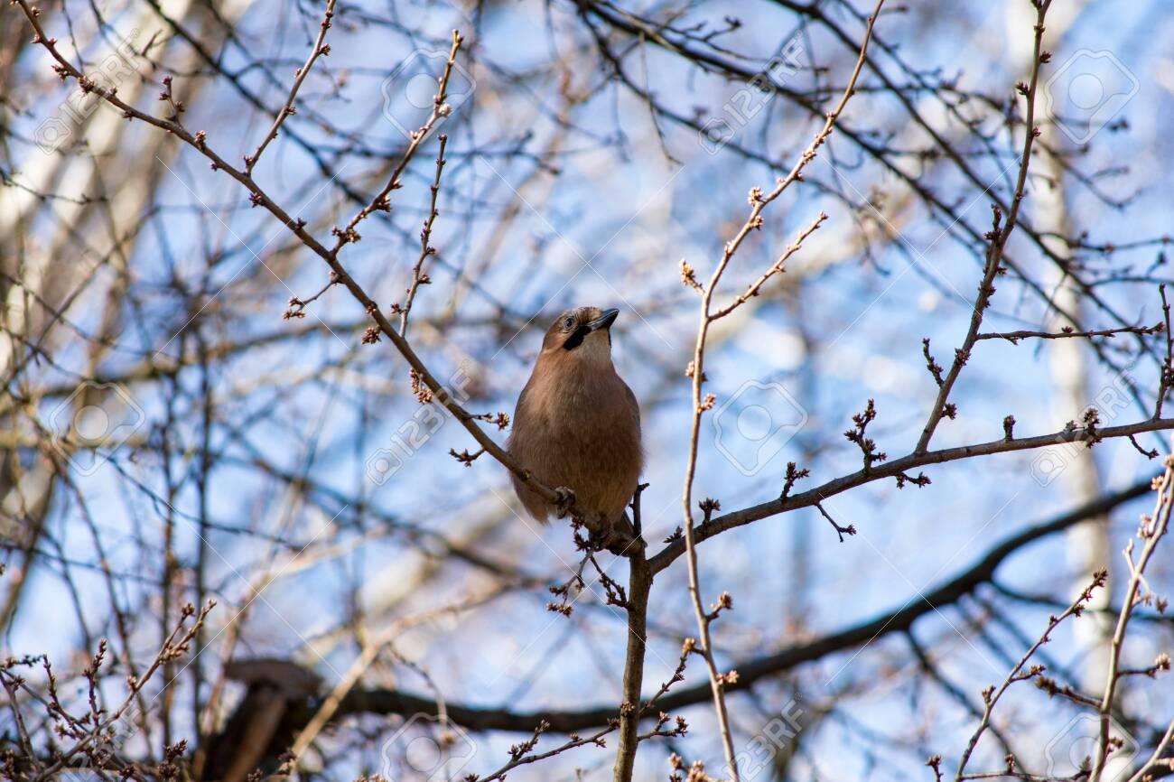 Jay on the tree - 134022155