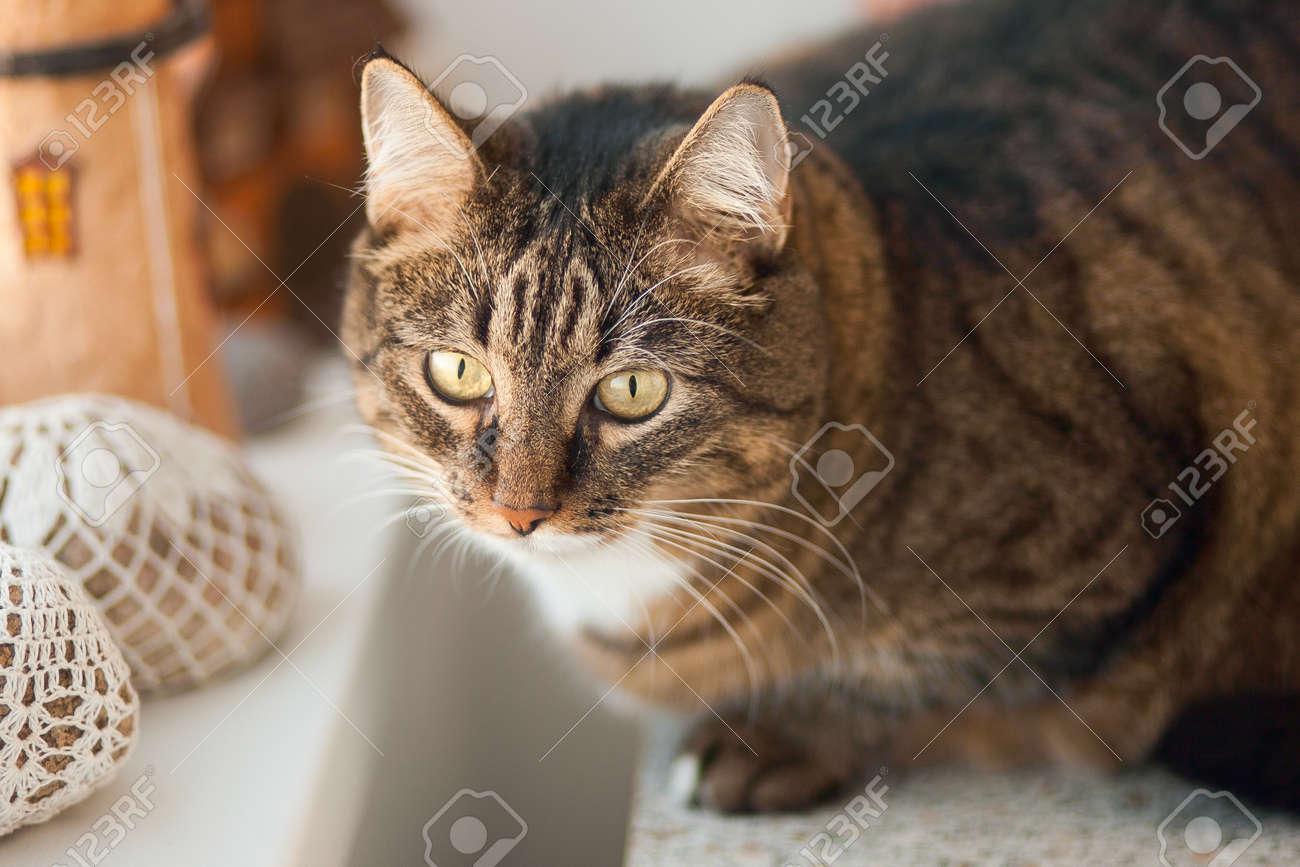 Potrait of the tabby cat. Cat's head. - 146282641