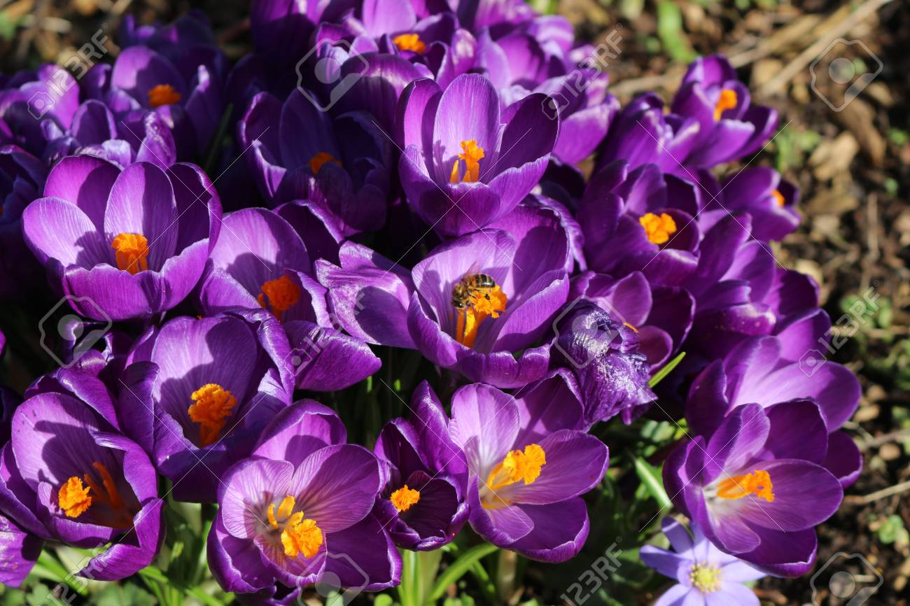 Lot Of Purple Crocus Flowers In Spring Stock Photo Picture And