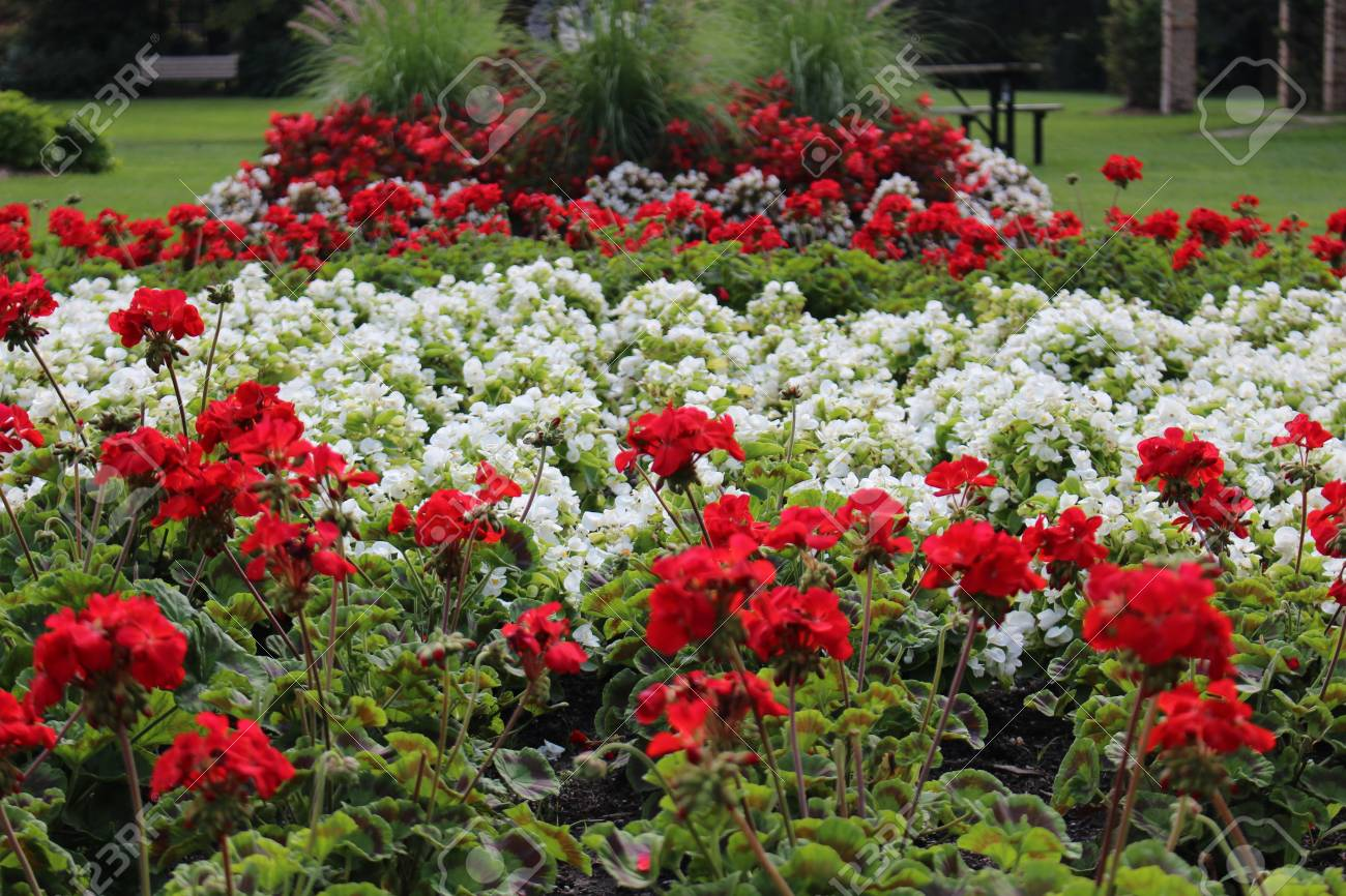 Red And White Flowers Depicting The National Flag Of Canada