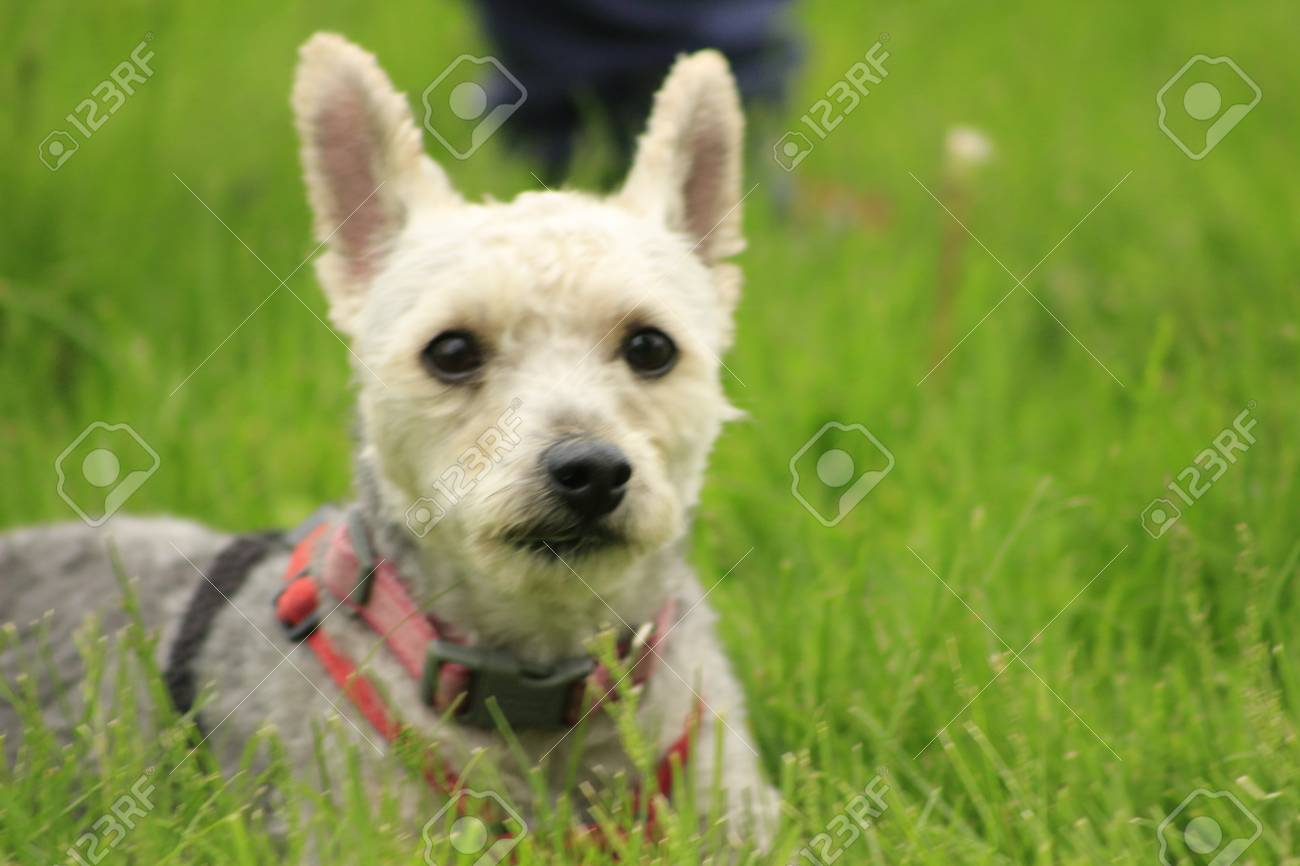 Small Yorkie Poodle Mix On A Harness In The Grass Room For Copy