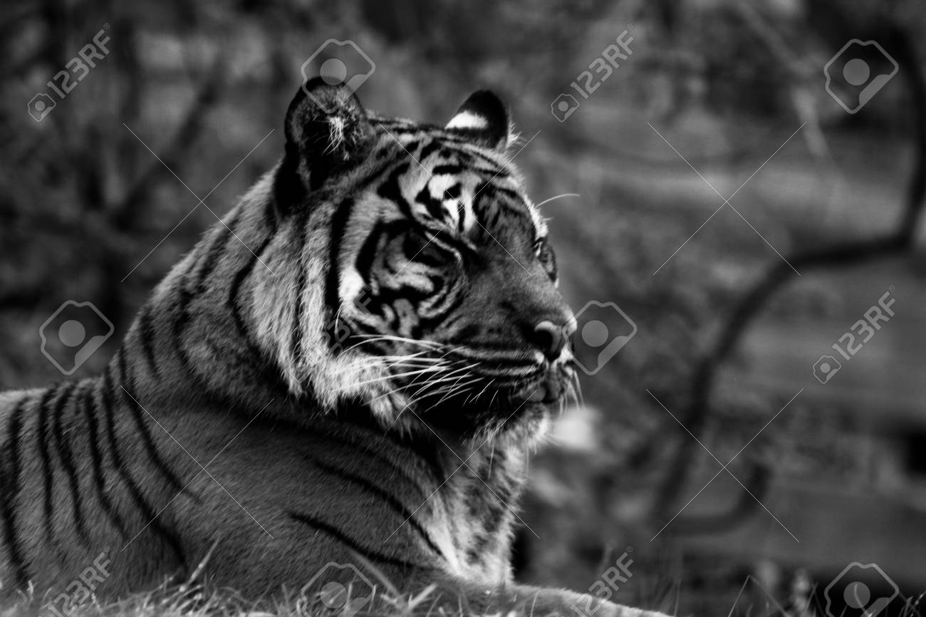 c3d204291 Tiger, Portrait Of A Tiger In Black And White Stock Photo, Picture ...
