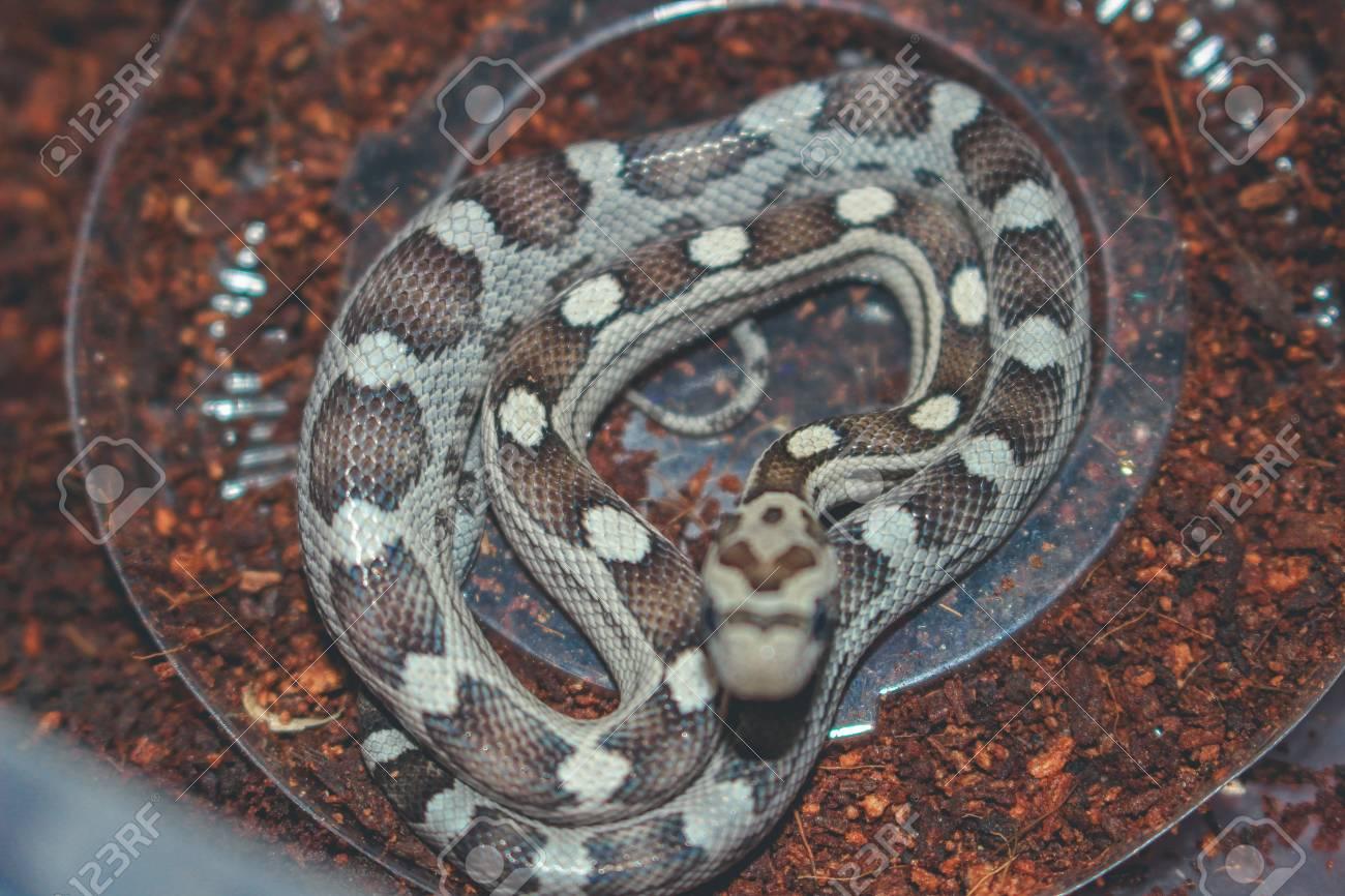 Corn snake isolated on white background motley
