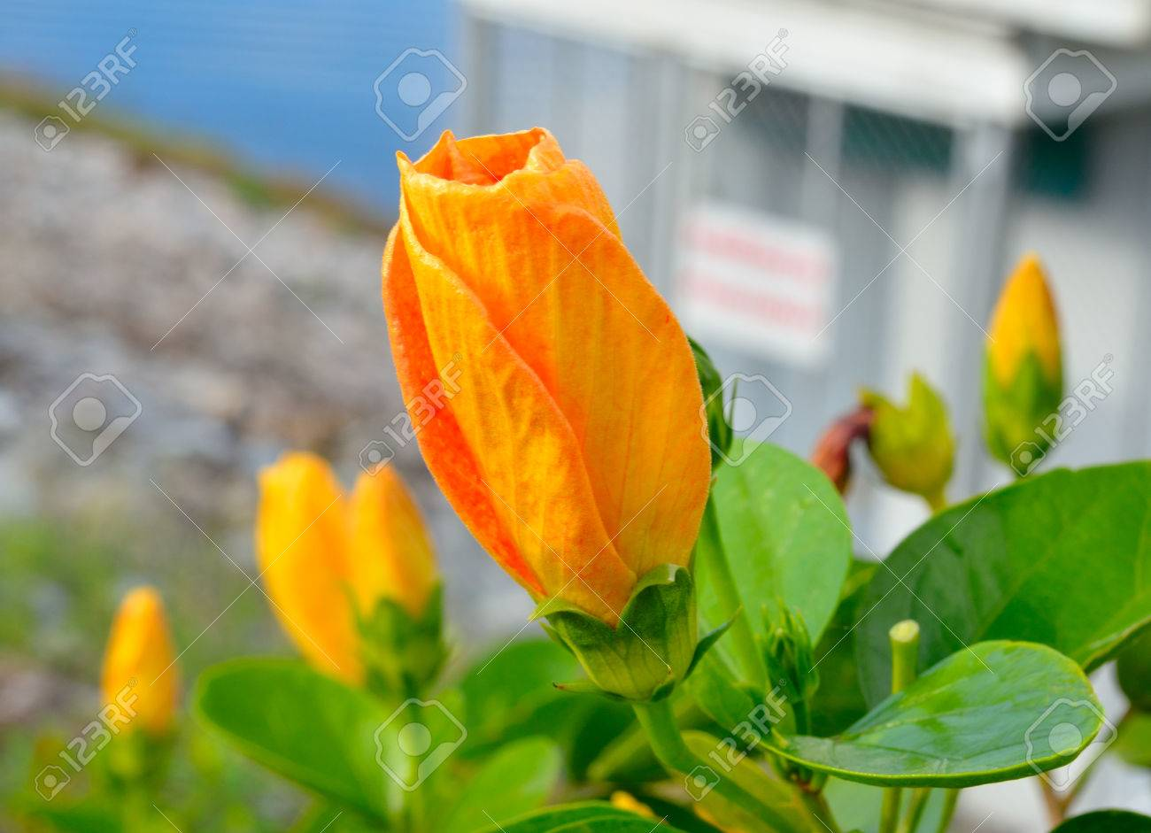 Orange chinese hibiscus flower or china rose hawaiian hibiscus stock photo orange chinese hibiscus flower or china rose hawaiian hibiscus shoeblackplant rose mallow its latin name is hibiscus rosa sinensis izmirmasajfo Choice Image