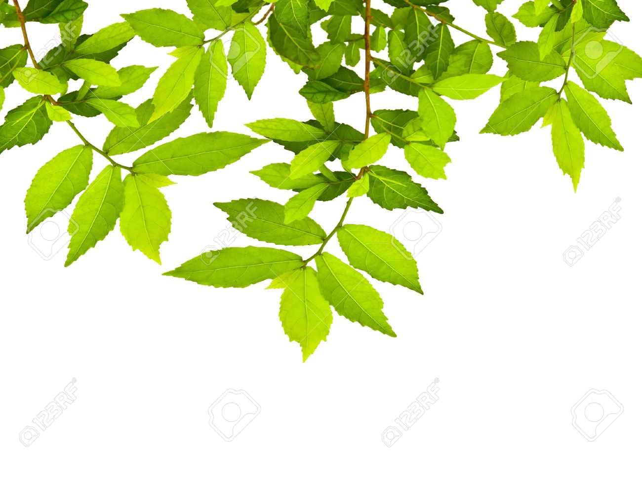 green leave over white background with space for your text stock