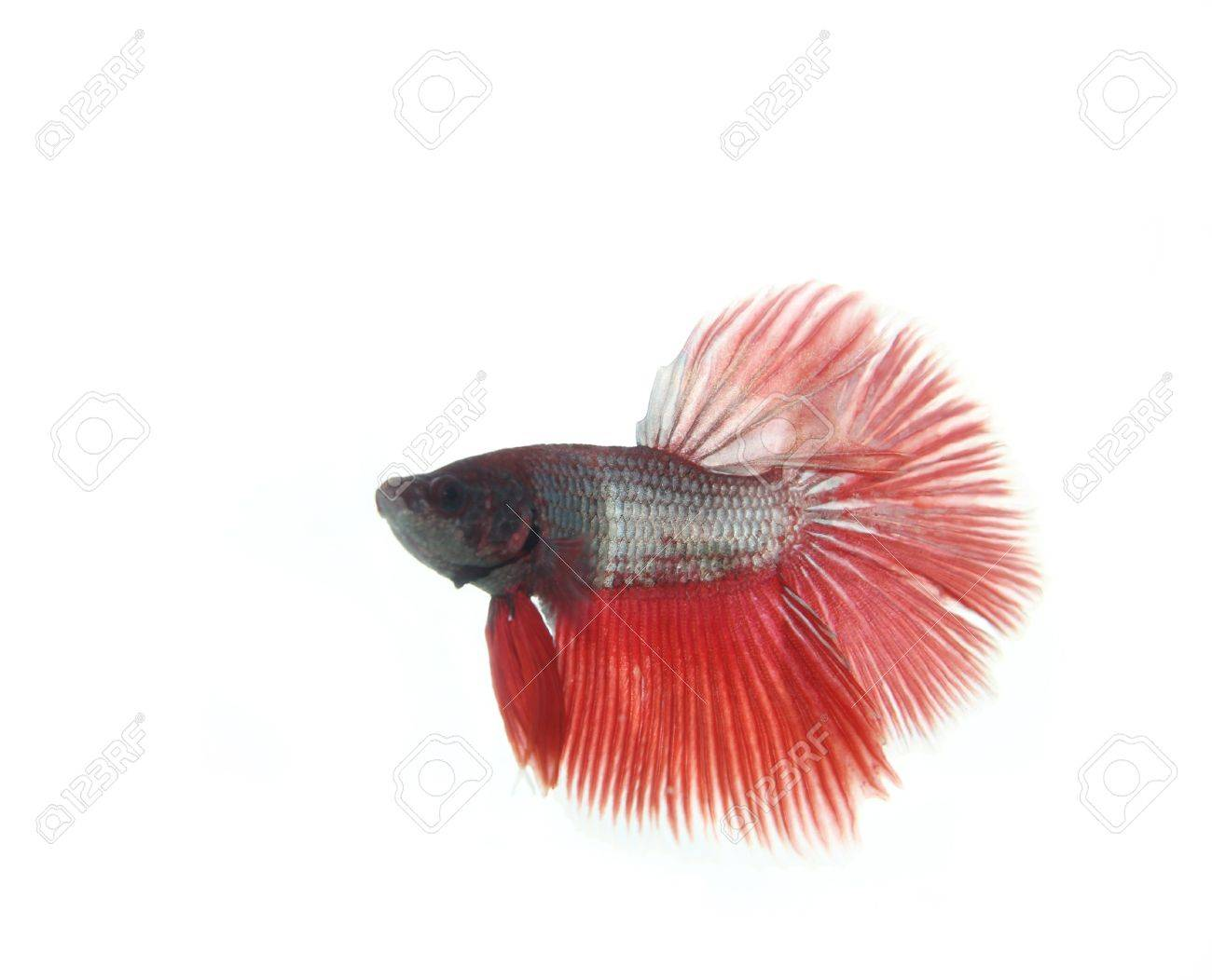 Red betta fish on white background Stock Photo - 13414166